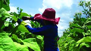Republicans Bring Back Child Labor On Tobacco Farms In The South